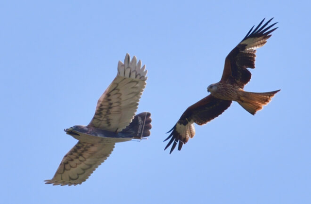 Eagle and Redkite